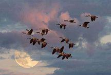 wild ducks migrating