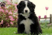 Border Collies / Pictures of Border Collies.