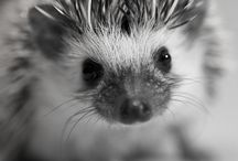 Pet African hedgehog