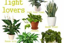 Niukassa valossa viihtyvät kasvit