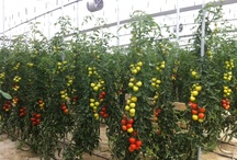 ARBOLEDA's TOMATOES / Premium tomatoes directly from the field to your hands 100% NATURAL www.arboledamediterranean.com