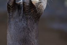 Otter / One of my favorite animals. The Otter.