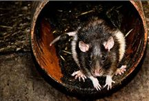 Rats Control / Rats eat and contaminate food and can spread diseases to humans. Click here to learn about the various rat control methods to rodent proof your home.