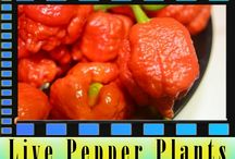 PP.org Buy Live Pepper Plants: Moruga, Bhut Jolokia Ghost Pepper / by Bhut Jolokia