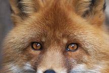 Лисы и волки