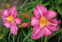 Daylilies I have