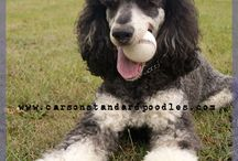 My standard poodle Teddy. (the Phantom Poodle is Teddy's dad, Phonsey) / Teddy, also known as Dr. T. is a purebred cream standard poodle. Both of Teddy's parents were phantom poodles.