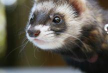 Art reference - Ferret (cat snake)
