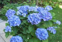 Garden - Hydrangeas