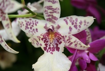 Orchids a Bodacious Flower / Orchids have become so easy for home gardeners. The trick is to learn which ones are best for indoor gardening or to find the exact perfect spot in a room to grow the harder varieties.
