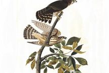 Audubon's Birds of America / John James Audubon was an American ornithologist, naturalist, and painter. Audubon's Birds of America is a portal into the natural world. Printed between 1827 and 1838, it contains 435 life-sized watercolours of North American birds, all reproduced from hand-engraved plates, and is considered to be the archetype of wildlife illustration. On 26th August 1833 Victor Gifford Audubon sold a complete set of the Birds of America to the Teylers Museum in Haarlem, the Netherlands.