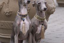 The Divine Italian Greyhound