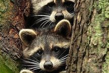 raccoon :)