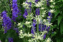 Eryngium Combinations / Plant partnerships that include sea hollies or rattlesnake master