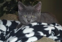Roxi, Our Russian Blue