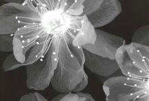 Szilvi virág
