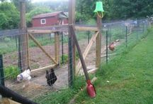 Chicken keeping tips