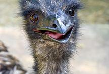 Emus & Ostriches