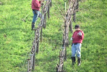Latinos in The Wine Industry / Pictures of Latinos working in the wine industry, usually in the vineyards.  They are the backbone of the wine industry.