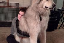 large dogs