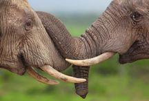 """A / ELEFANTES  / Ao longo da história, os elefantes foram utilizados pelo homem para várias funções, como transporte, entretenimento e guerra. Atualmente todas as espécies de elefantes são consideradas em perigo de extinção, segundo a """"União Internacional para a Conservação da Natureza e dos Recursos Naturais (UICN)."""" Eles são ameaçados pela caça ilegal e perda de seu habitat. O marfim de suas presas é usado em jóias, teclas de piano, dentre outros usos."""