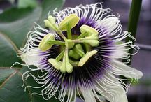 Unique Flowers / All flowers are special and unique in their own way but there are some flowers that are more unusual than others. From the Titan Arum to the Passion Flower, there are many unique flowers to learn about or ever grown in your own garden!