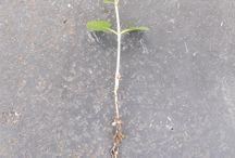 bonsain kasvatus
