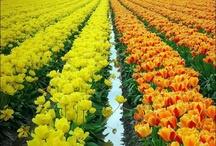 My collection Tulips   :-) Like / #Tulips - Tulipán, (turbante) la #flor simboliza respeto y fidelidad,  distinción y nobleza. Amarillos simboliza #amor desesperado. De color rojo significa sutil declaración de amor.