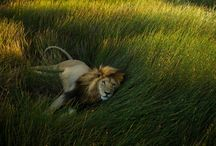 Lions / by Laurie Rohner Studio