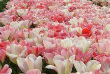 tulipánözön