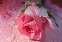 For the love of Pink roses♡