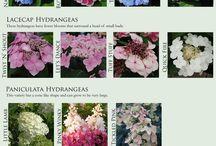 Hydrangea varieties / by Merylin Hanson