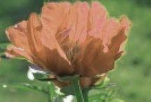 flores_