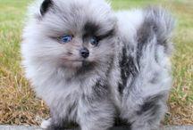 Blue Merle
