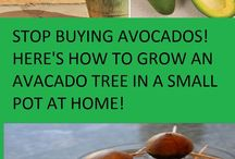 How To Grows Avocados