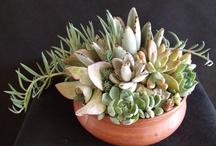 Succulents - Cactus / Piante grasse, cactus