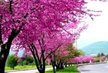 erguvan ağaçları