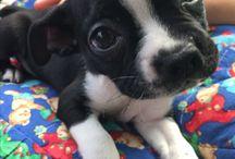 Luna the Boston Terrier