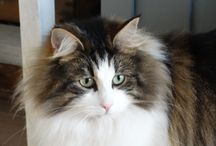 Sweet Virginia / Our sweet Norwegian Forestcat Gina