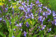 Modrá je dobrá / V trvalkách snad najdeme všechny odstíny od nebeské modře přes rozbouřené moře až po inkoust. Výborně se kombinuje s bíle či žlutě kvetoucími perenami, avšak jedny z nejkrásnějších kombinací, co jsem viděla jsou kombinace s limetkově zelenou třeba inkoustově kvetoucí Salvia 'Caradonna' s limotkovými mladými listy Sesleria autumnalis.