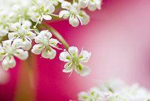 Umbellíferae / Flowers: Astrantia, Eryngium