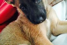 Belgian Beauties / Belgian Malinois  / by Ashlee Stellfox