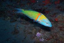 Papageienfisch