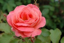 Roses / A garden simply isn't complete without at least one rose. We'll have over 100 varieties including fragrant roses for cutting; climbing roses for arbors and trellises; and low-maintenance shrub roses for non-stop flower power in any sunny spot you choose.
