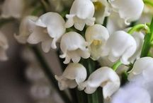 Lily of the valley / My favorite flowers.....