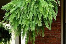 Ferns / Ferns