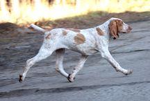 Anivellen Bracco Italiano & Hungarian Vizsla / My dogs, my passion, my love... Working, sleeping, playing... just having lot of fun...