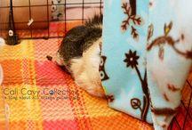 Piggies  / All things guinea pig