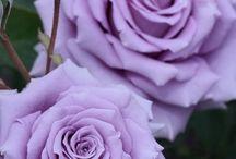Pragtige Rose