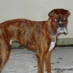 love your boxer / how to train and care for your boxer. 